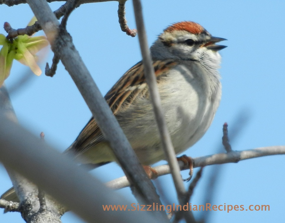 Indian Sparrow Food Habits