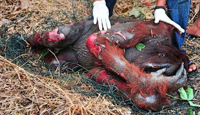 kehancuran satwa liar tidak manusiawi karena minyak kelapa sawit cerita dunia