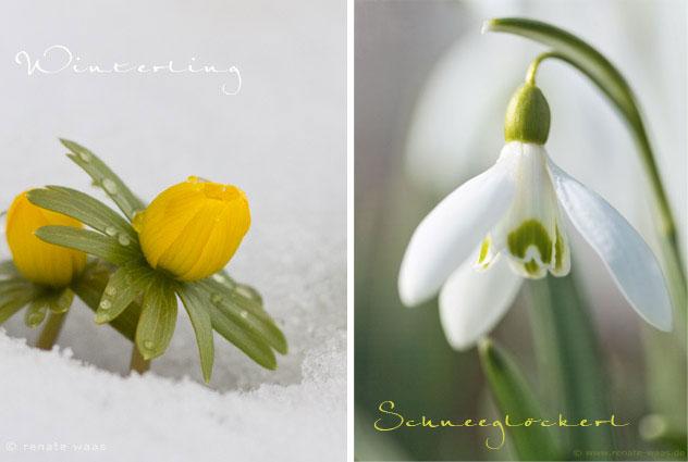 Winterling und Schneeglöckchen als erste Frühlingsblumen