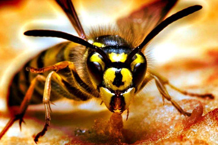 Katil Arı gezegendeki en saldırgan ve agresif haşerelerden biridir, laboratuvar ortamında yaratılmıştır.