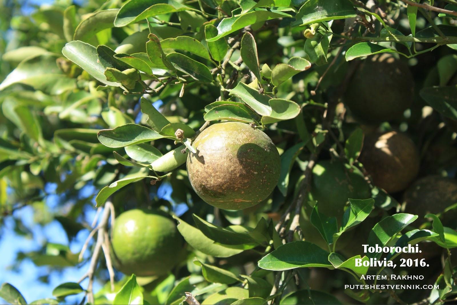 Зеленые мандарины.