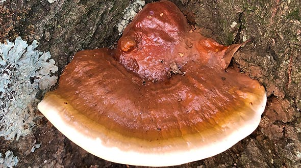 Mushrooms on tree trunks ganoderma applanatum fruiting structure