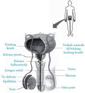 Struktur Pengertian Gambar Bagian Anatomi  Testis pada Pria : Fungsi Struktur Pengertian Bagian Anatomi