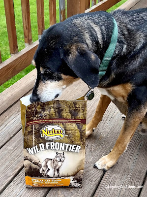 Teutul couldn't wait to try the Nutro Wild Frontier Open Valley recipe #LapdogCreations ©LapdogCreations