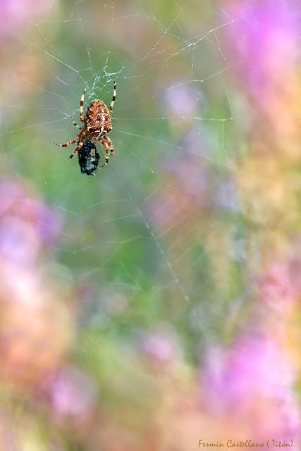 Araña de la cruz y su entorno