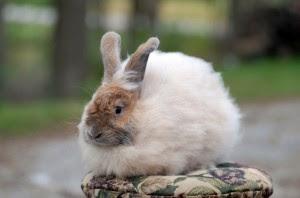 Gambar kelinci french Anggora lucu dan imut