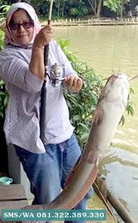 Master umpan Ikan Lele Indukan