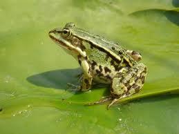 Le rane sono anfibi, caratteristiche delle rane per la scuola