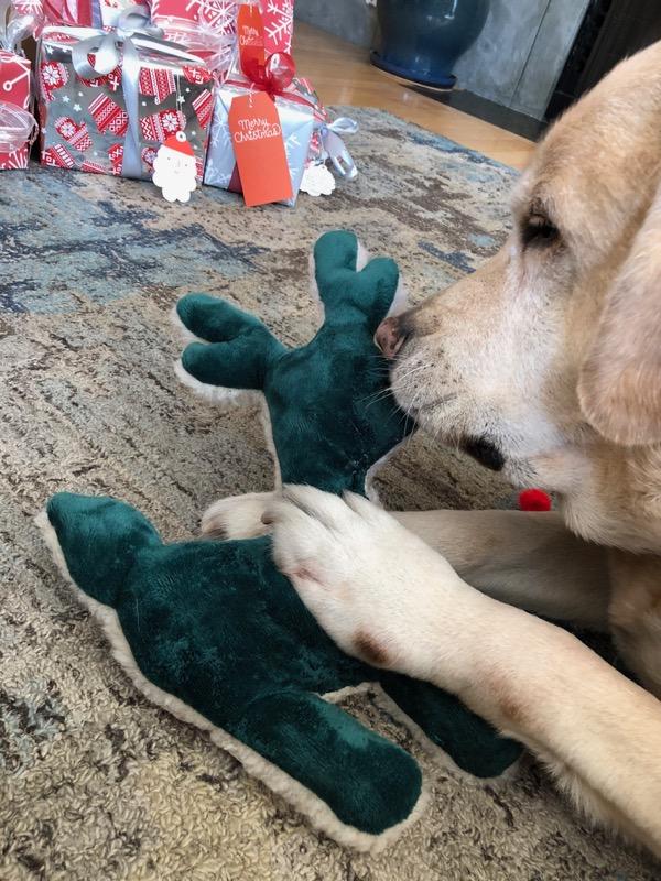 Labrador Cooper destroys Reindeer toy