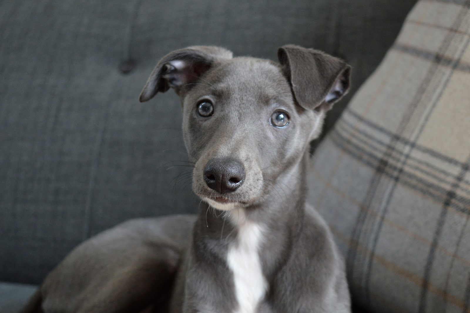 Blue Puppy Whippet