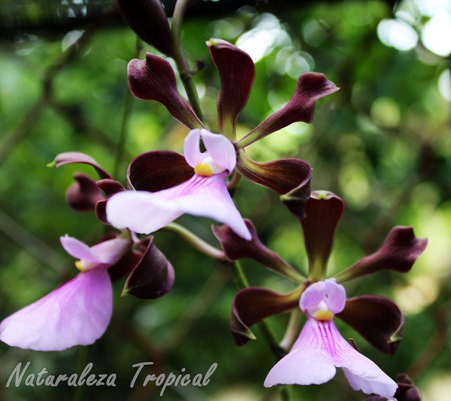Racimo floral de la orquídea Encyclia cordigera
