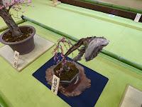 大阪天満宮・大盆梅展(盆梅と盆石展) 呉服枝垂