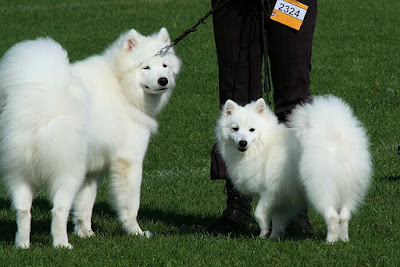 Samoyed vs Japanese Spitz