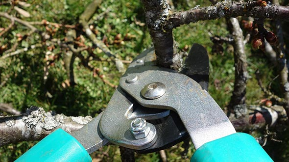 Sanitized pruning equipment to avoid disease contamination