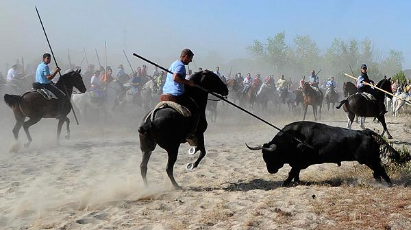 La Junta de Castilla y León deniega la autorización del Toro de la Vega de este año