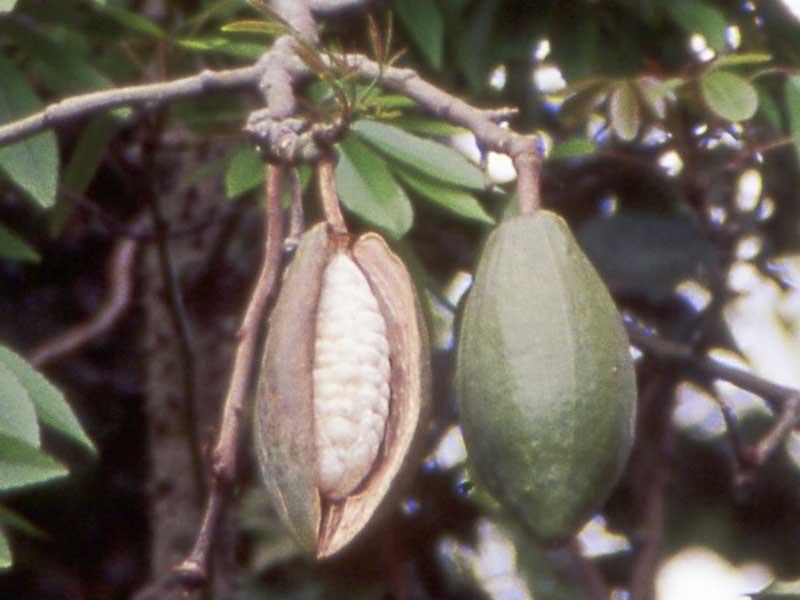 Fruit Names Starting With K Fruit