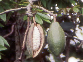 kapok fruit images
