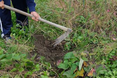 生坂村・家庭菜園 さつまいも掘り