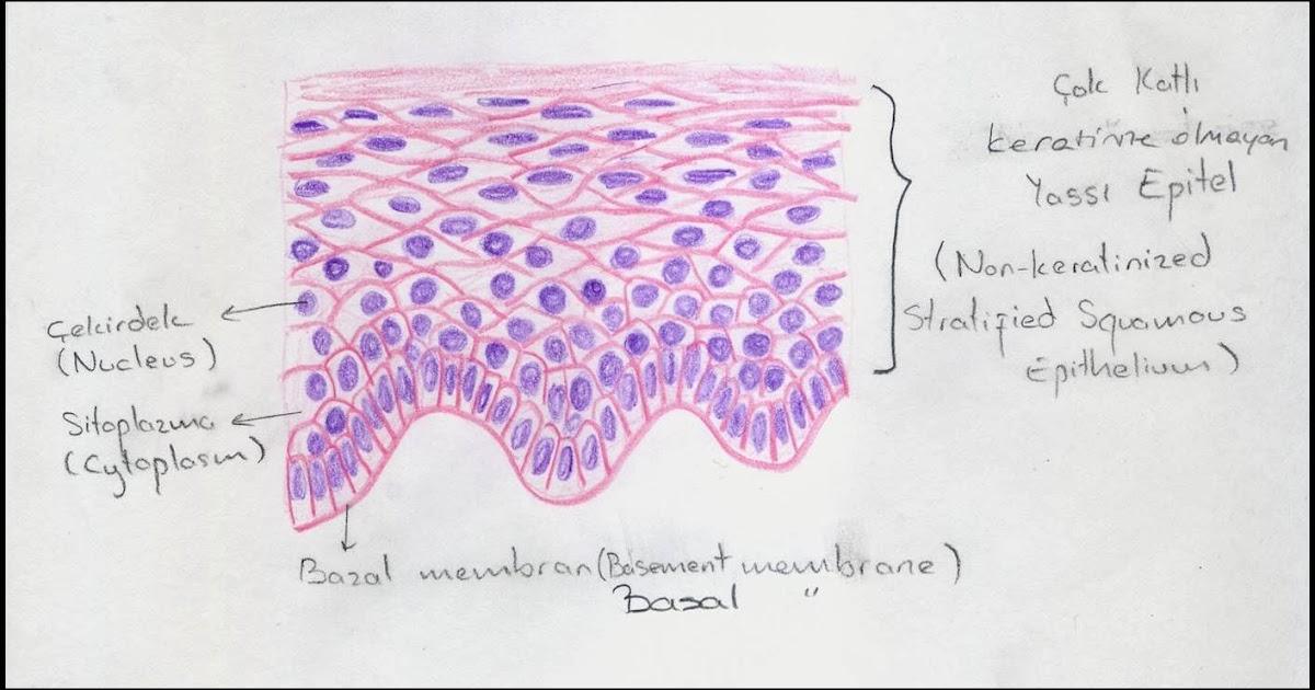 Diagram Of Bone With Labels Lining Epithelium