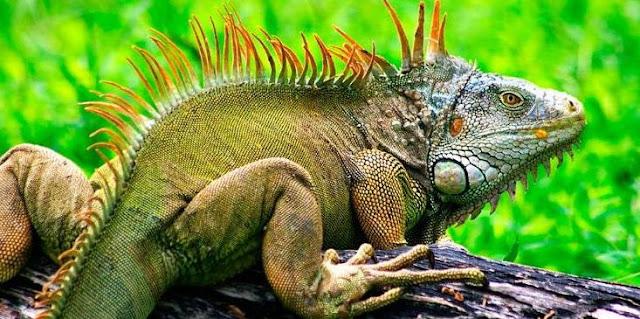 Animal That Starts With I - Iguana
