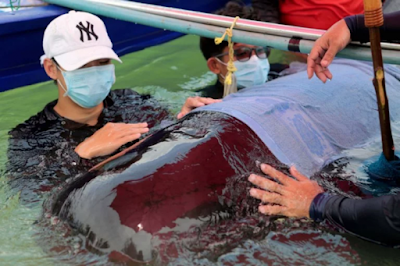 Sedih Banget! Gara-Gara 80 Kg Sampah Plastik, Paus Ini Akhirnya Menderita dan Mati Mengenaskan