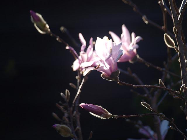 "Lyserøde stjernemagnolia - Magnolia loebneri ""Leonard Messel"""