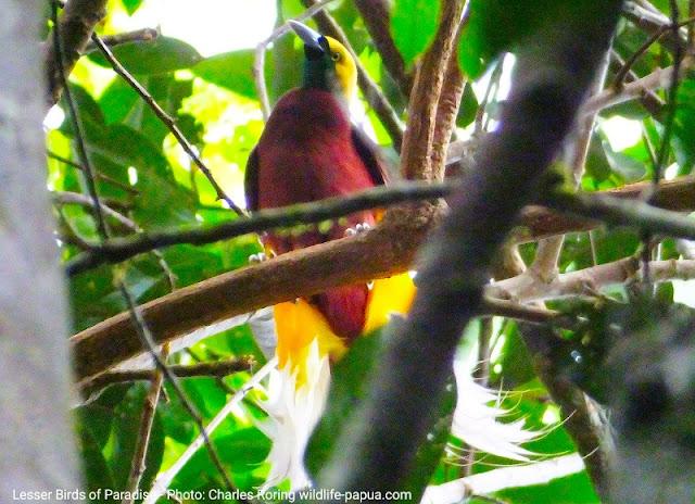 Male Lesser Birds of Paradise