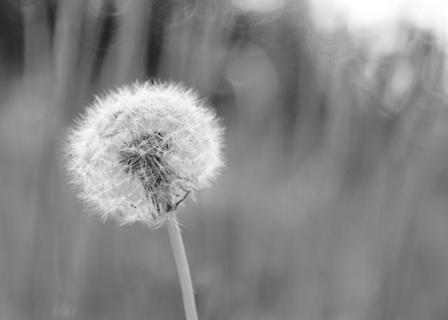 A black and white photograph of a close up of a dandelion against a blurred background of grass