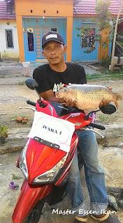 Master Umpan Ikan Mas Babon Kroto