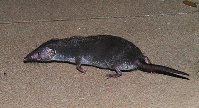Mengusir Tikus Curut Di Rumah