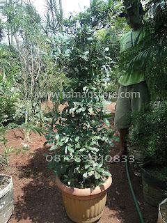 Jual Pohon Miracle fruit Jabodetabek