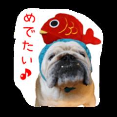 Bulldog is my life...2