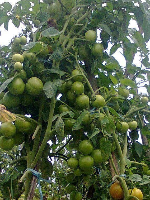Tanaman Tomat Subur dan Berbuah Lebat di Musim Hujan dengan Perawatan yang Baik dan Benar