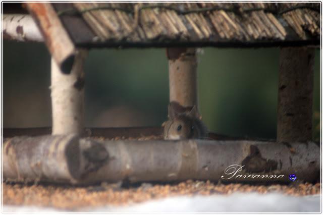 ptaki zimą, krogulec, jastrząb, kaczki krzyżówki,sikorki, mazurki, wróble,rudzik