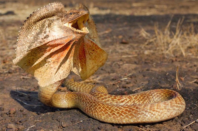 10-Frilled-Neck-Snake-reddit-Animal-Mashups-Lovely-or-Scary-www-designstack-co