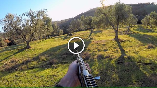 chasse d'un sanglier de 80 kg - chasse au Italy
