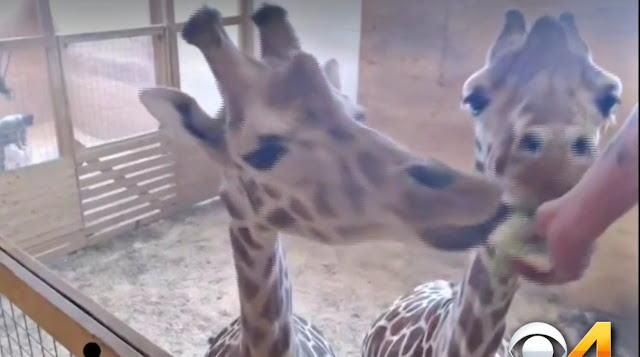 April and Oliver Giraffe being fed treats