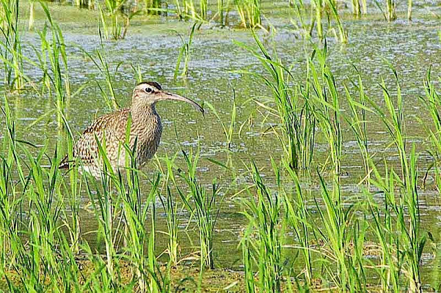 bird, whimbrel, migratory