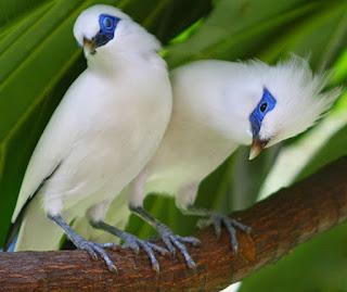 burung jalak