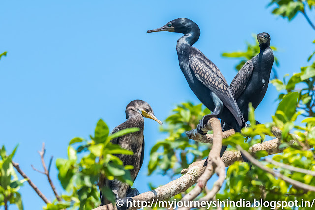 Ranganathittu Birds Cormorant