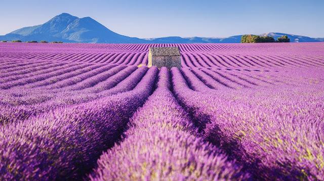cánh đồng hoa oải hương đẹp nhất thế giới 1