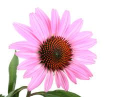 Echinacea for Cellulitis