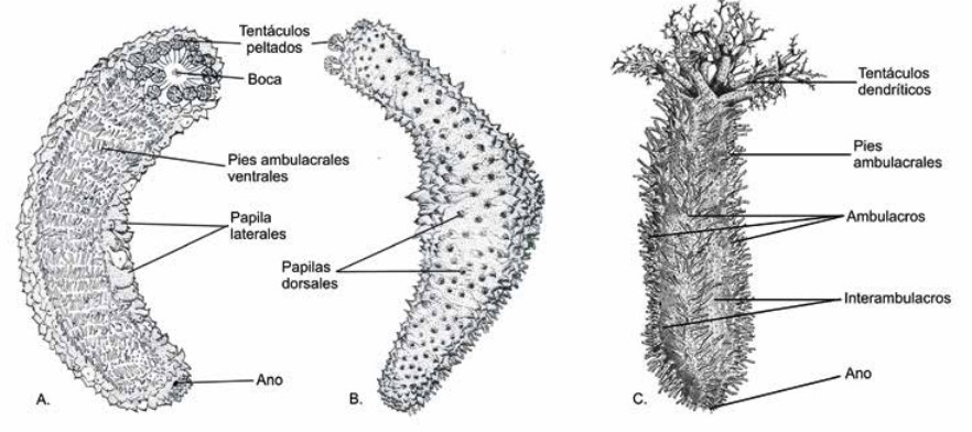 Reproducción en Equinodermos
