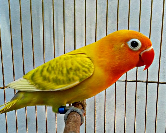 lovebird kepala emas