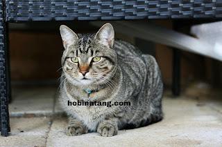 Kucing kampung Hewan Peliharaan Lucu di Rumah yang Mudah Dipelihara dan Murah