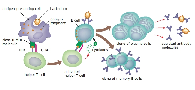 # 61 Action of T-lymphocytes | Biology Notes for A level