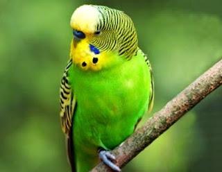 Burung Parkit Makanan Suku Aborigin