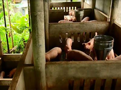 Người dân Quảng Ngãi chi hàng trăm triệu xây nhà lầu cho heo tránh lũ