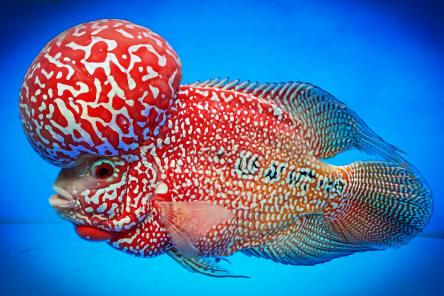 All About Flowerhorn 10 Tips Cara Memelihara Ikan Louhan Agar