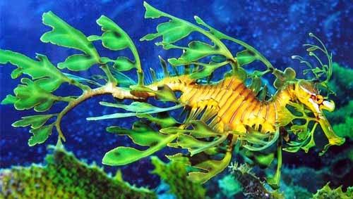 Kamuflase Leafy Sea Dragon (Naga Laut Daun)